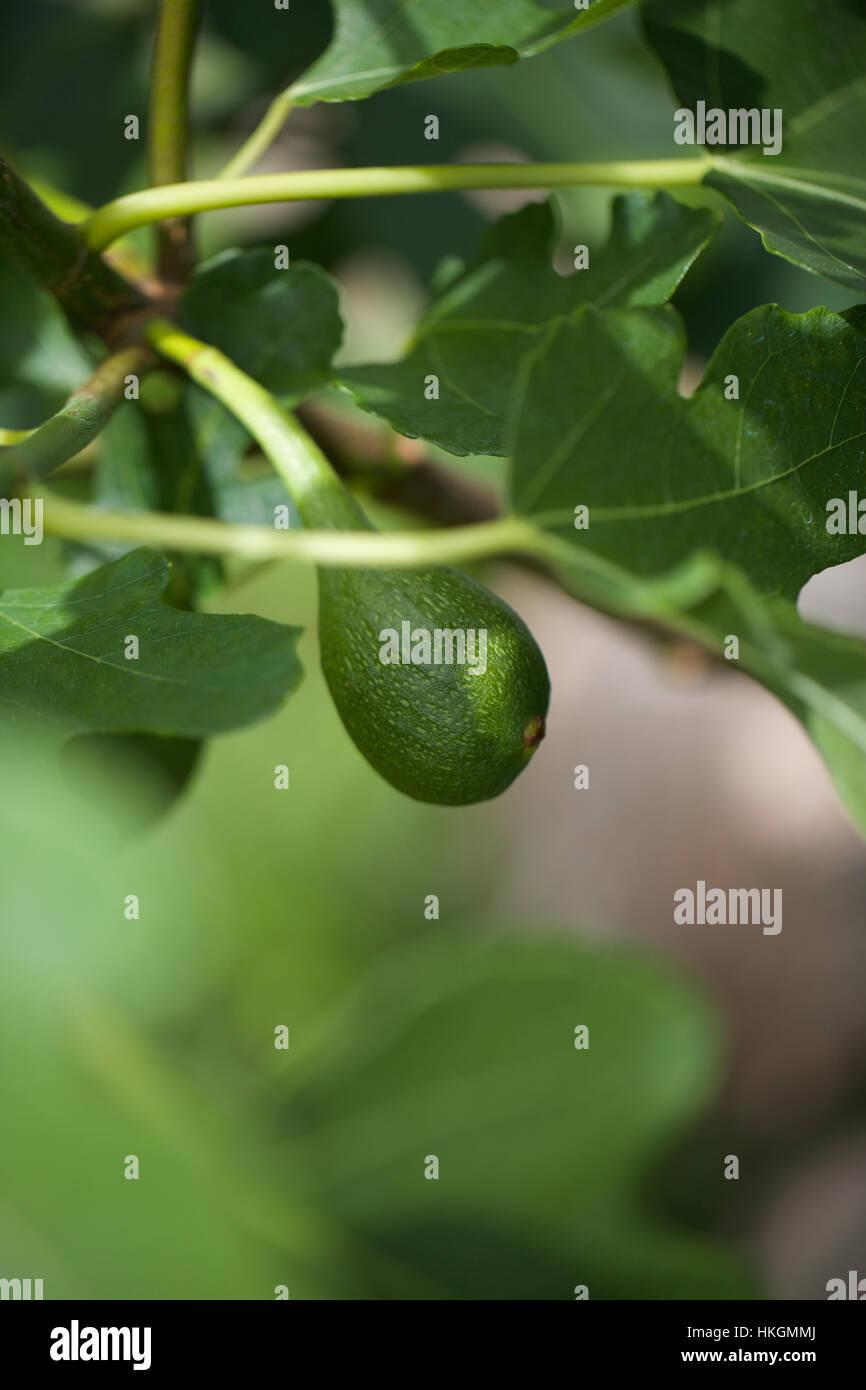 fresh figs on tree. leaves, fruit tree, fig, growth. - Stock Image