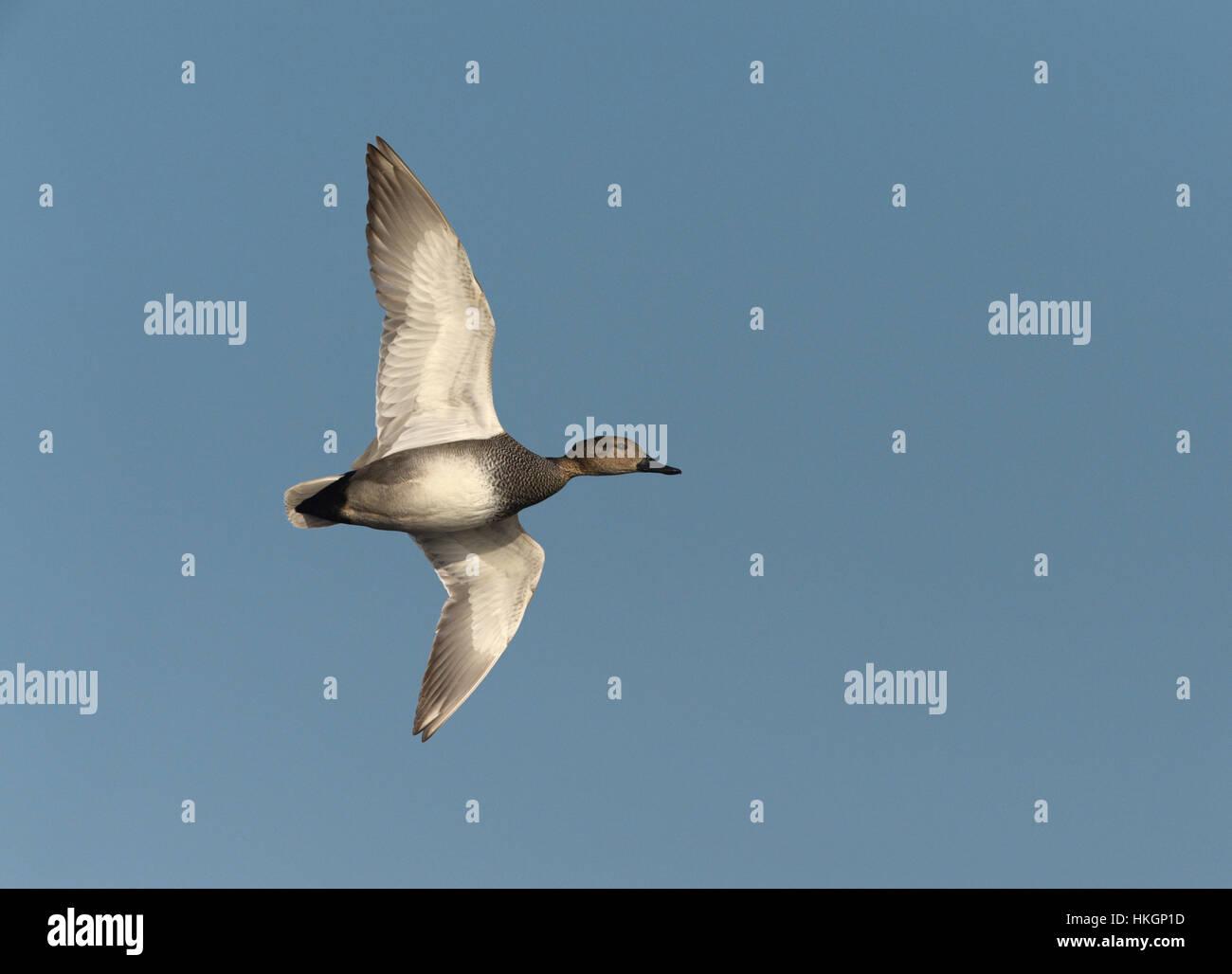 Gadwall - Anas strepera - Stock Image