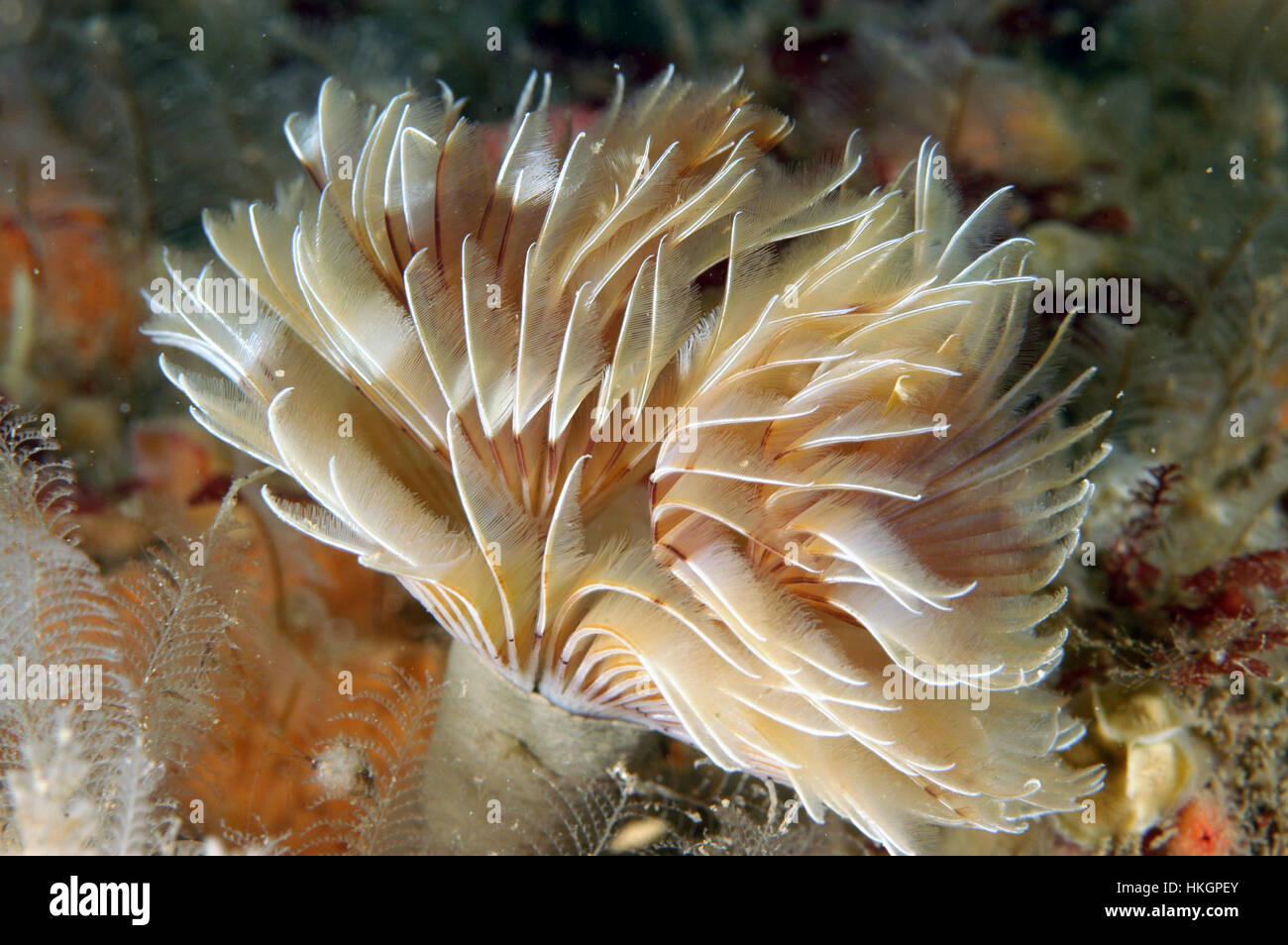Tube worm - Bispira volutacornis Stock Photo