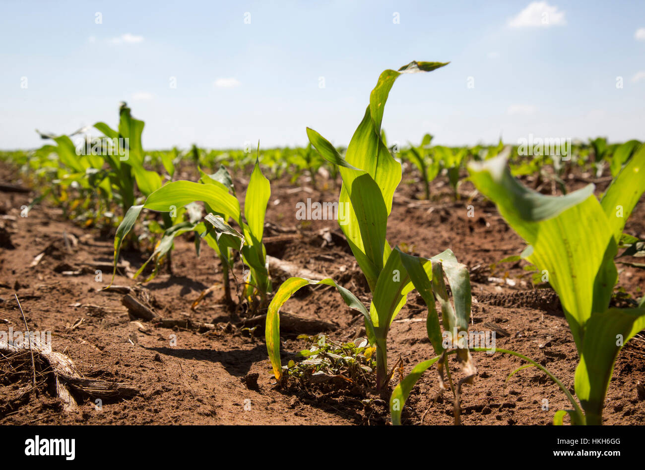 Low angle view of young maize plants (Zea mays) growing in a Mielie field on the highveld. - Stock Image