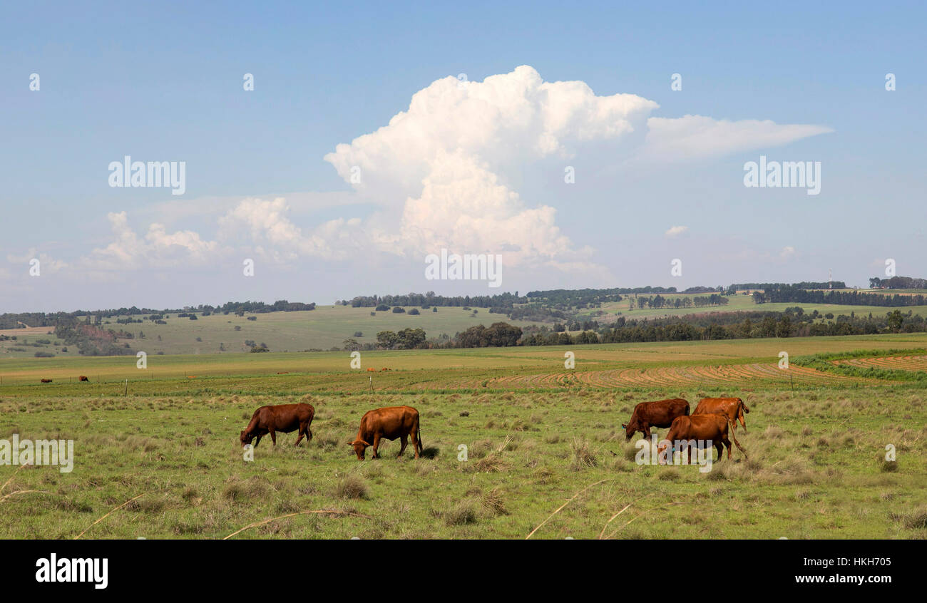 Cattle grazing in the veld with a Cumulo-nimbus cloud on the horizon as typically develops over the highveld during - Stock Image