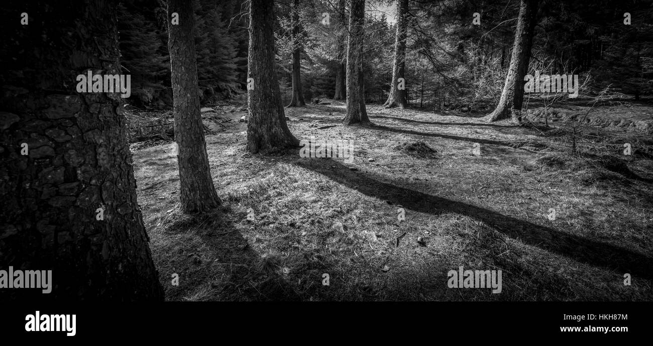 Eight sentinel pine trees protecting a path leading to a clearing within a dark mysterious forest - Stock Image