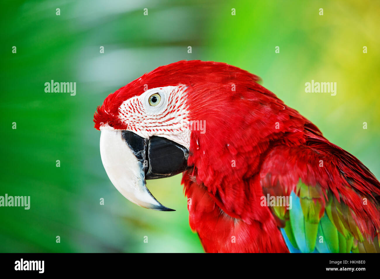 Portrait of red macaw parrot against jungle. Parrot head on green background. Nature, wildlife and tropical rainforest - Stock Image