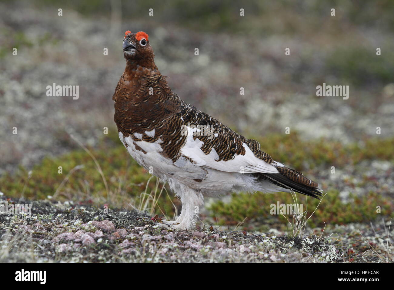 Male Willow Ptarmigan (or Grouse) showing fall colours in arctic tundra - Stock Image