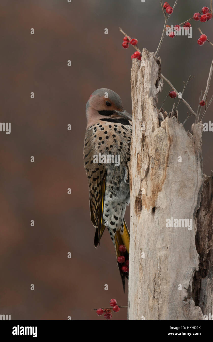 Northern flicker searches for food in dead tree stump - Stock Image