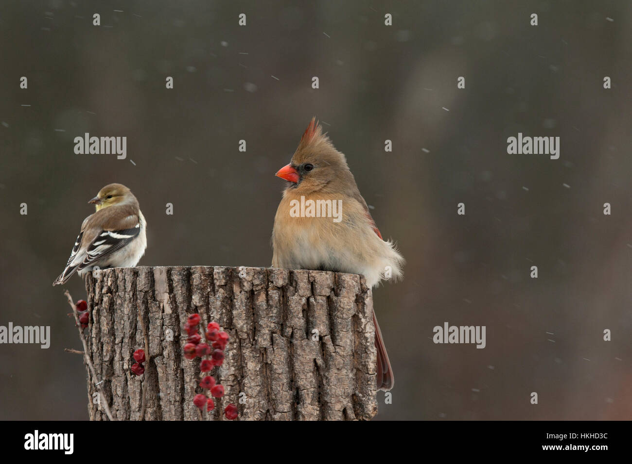Female cardinal and goldfinch perch on stump on winter day - Stock Image