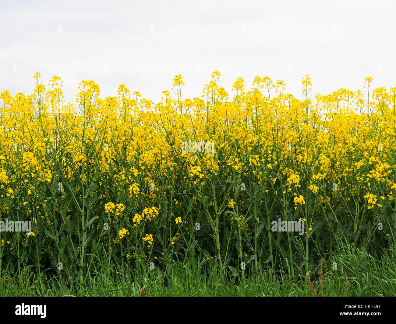 A field of bright yellow flowers in the french countryside the a field of bright yellow flowers in the french countryside the flowers are grown to make cooking oil mightylinksfo