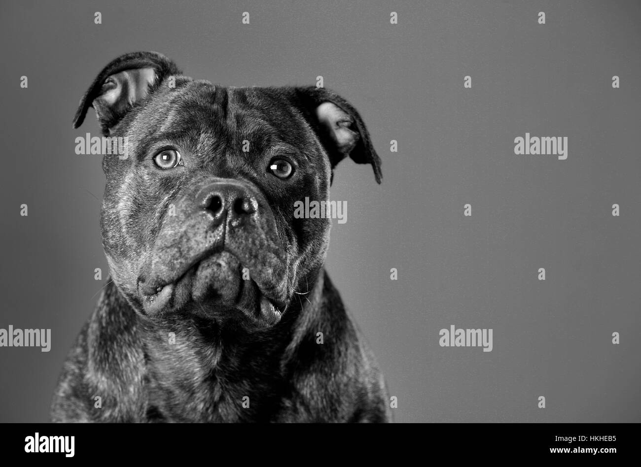 Staffordshire Bull Terrier portrait in studio - Stock Image