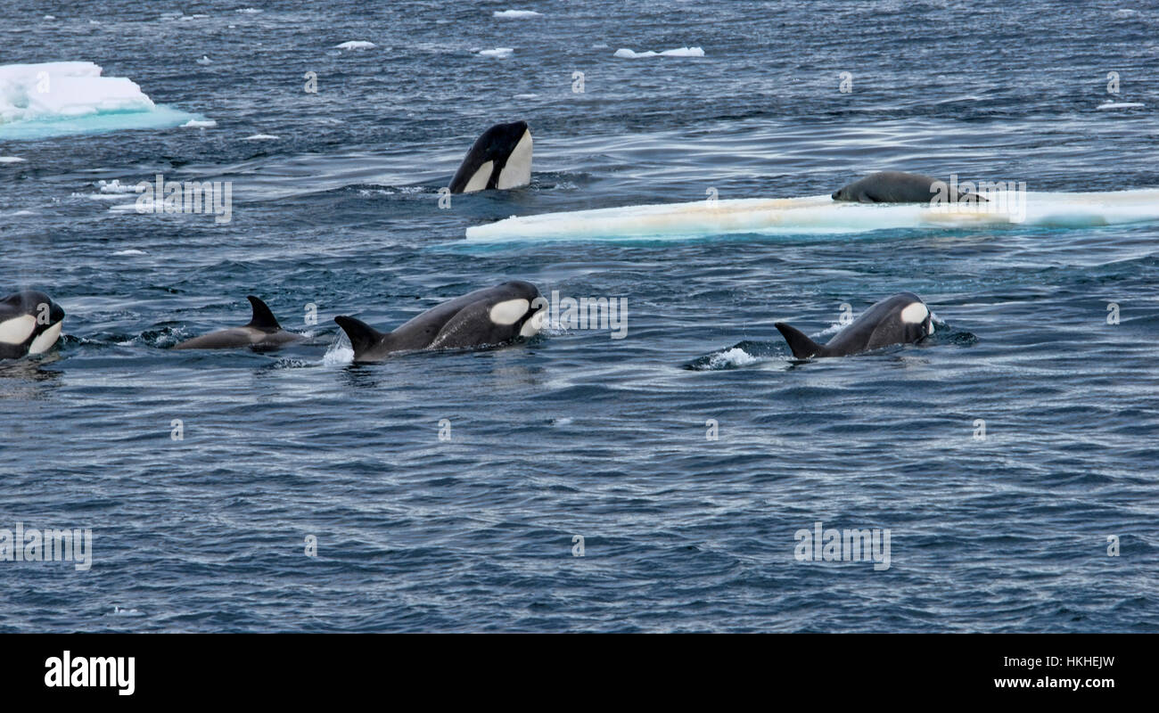 A pod of Orcas going after a crab-eater seal on an ice floe. The adult orcas were teaching the young. Antarctica - Stock Image