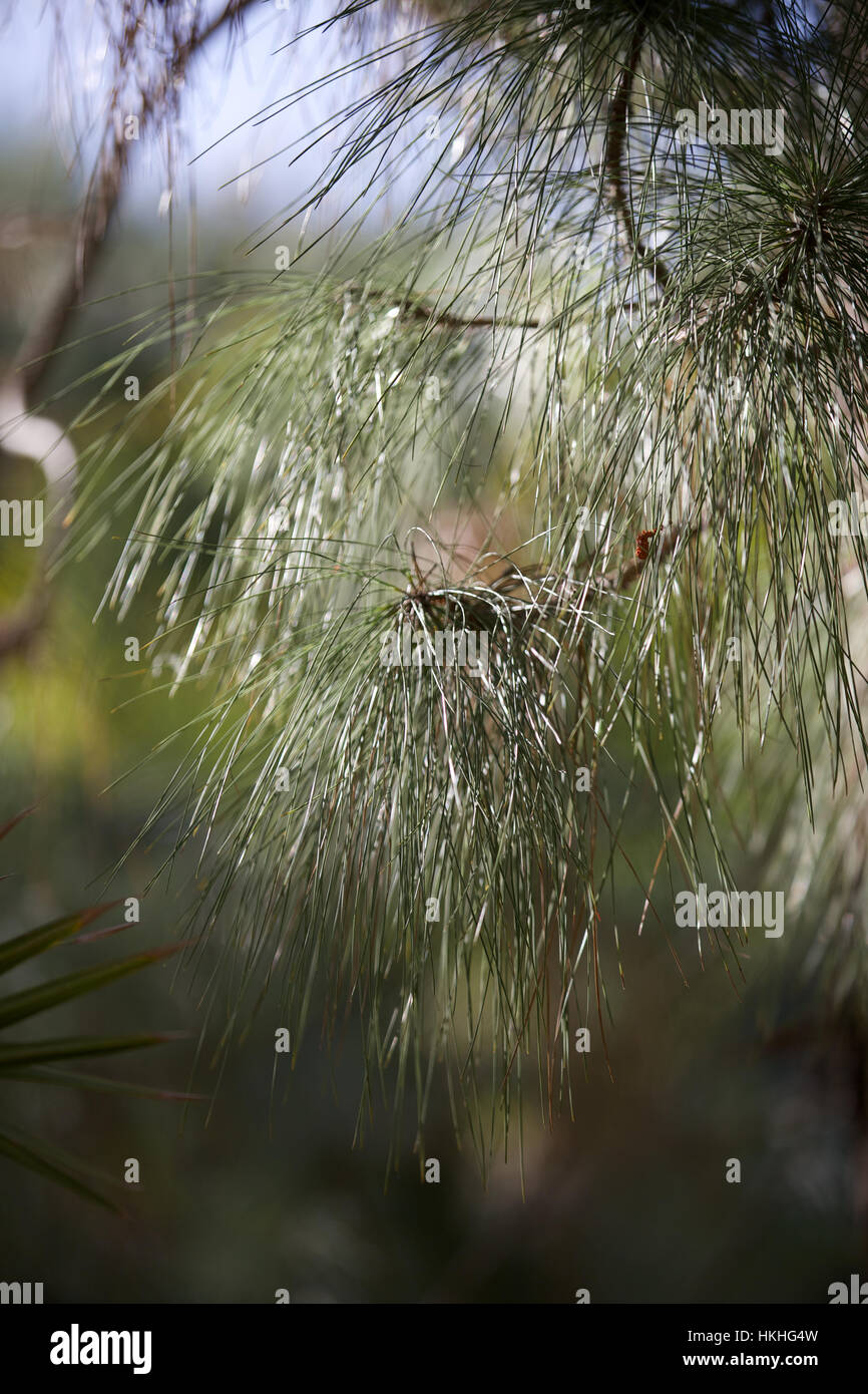 pine tree branch. forest, nature, growth, tree. - Stock Image