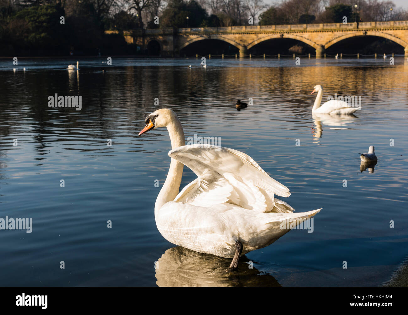 Majestic swans on The Serpentine lake in Hyde Park, London, UK - Stock Image