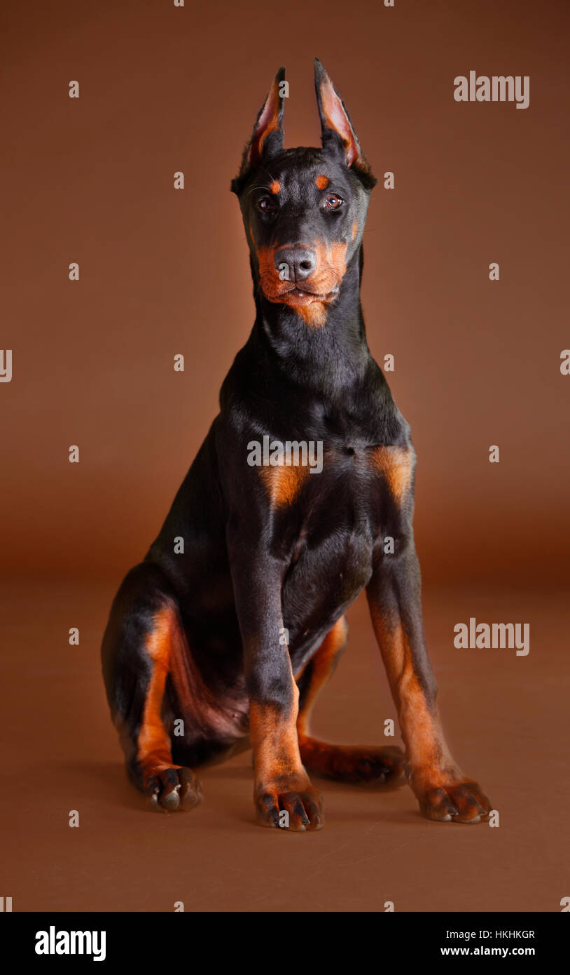 Doberman dog portrait in studio with brown background - Stock Image