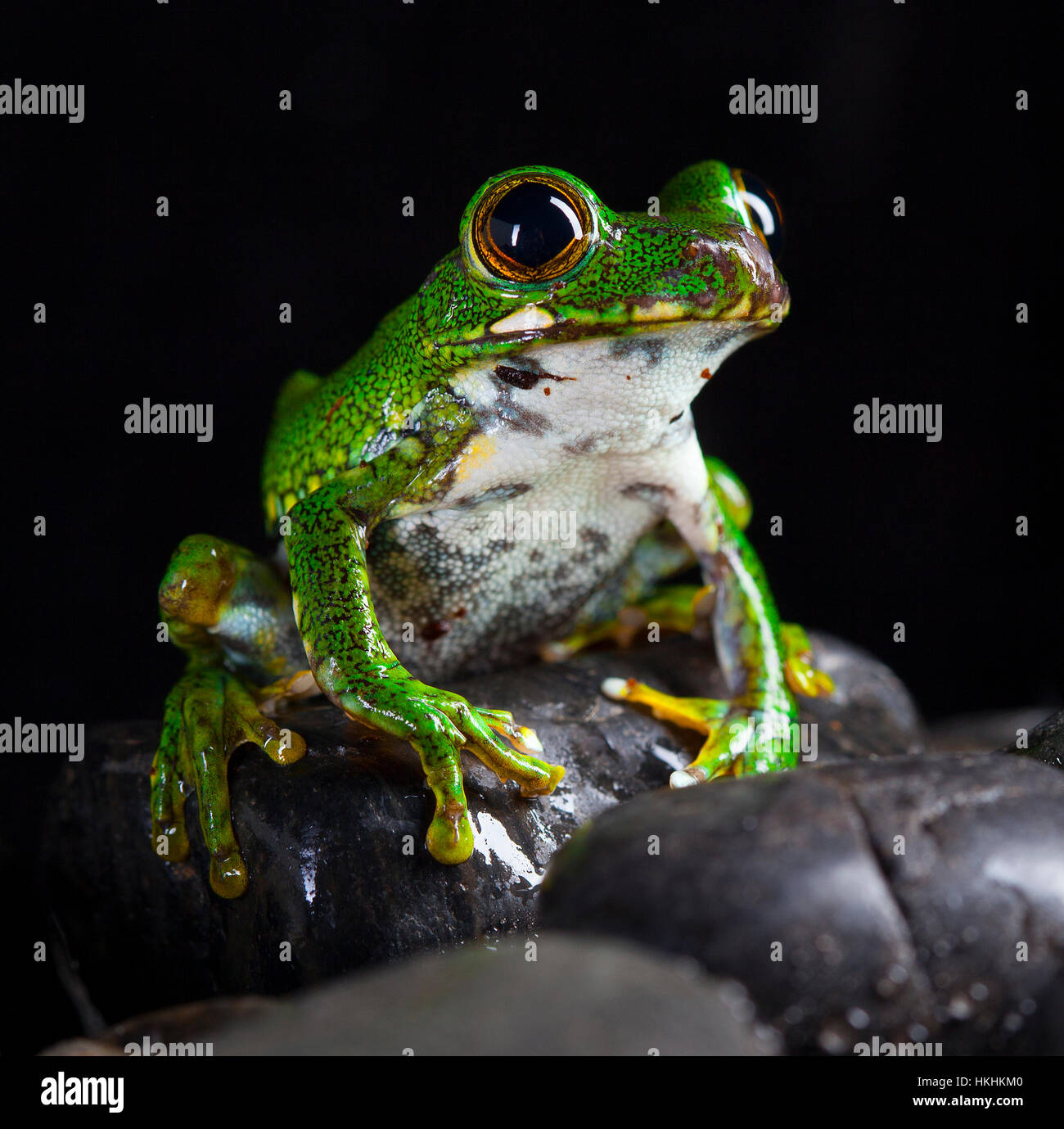 Leptopelis Vermiculatus frog in studio with black background - Stock Image