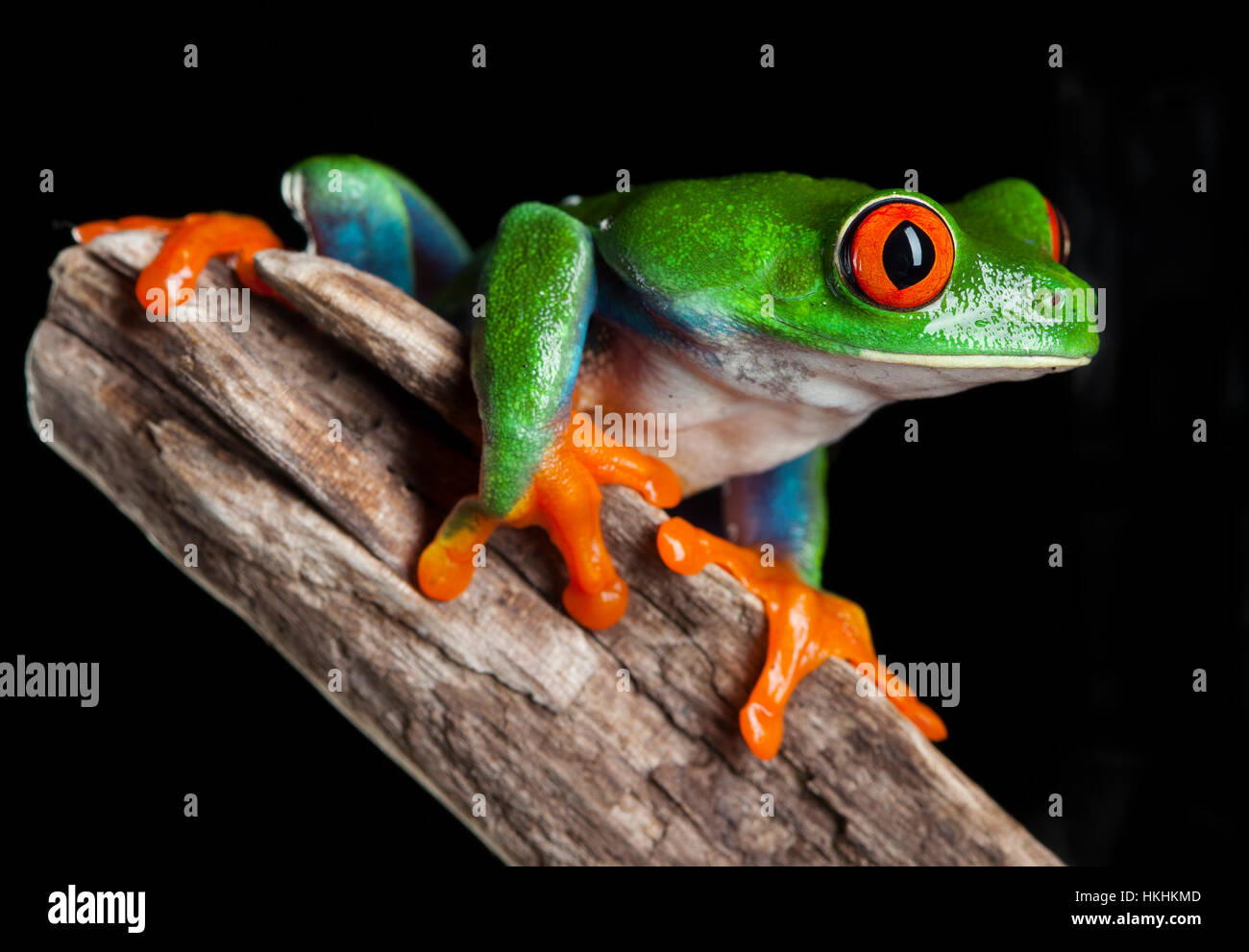 Red Eye frog in studio with dark background - Stock Image
