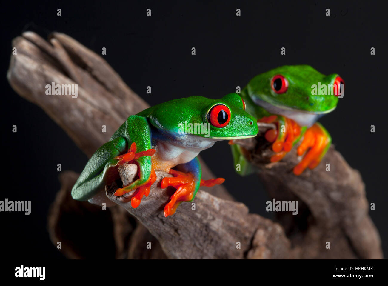 Two Red Eye frog in studio with dark background - Stock Image
