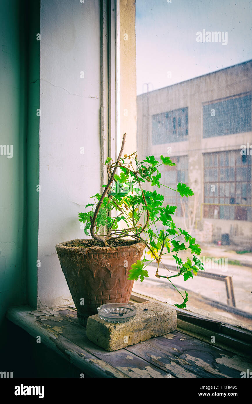Single flower in a clay pot on windowsill. A survivor in an abandoned building - Stock Image