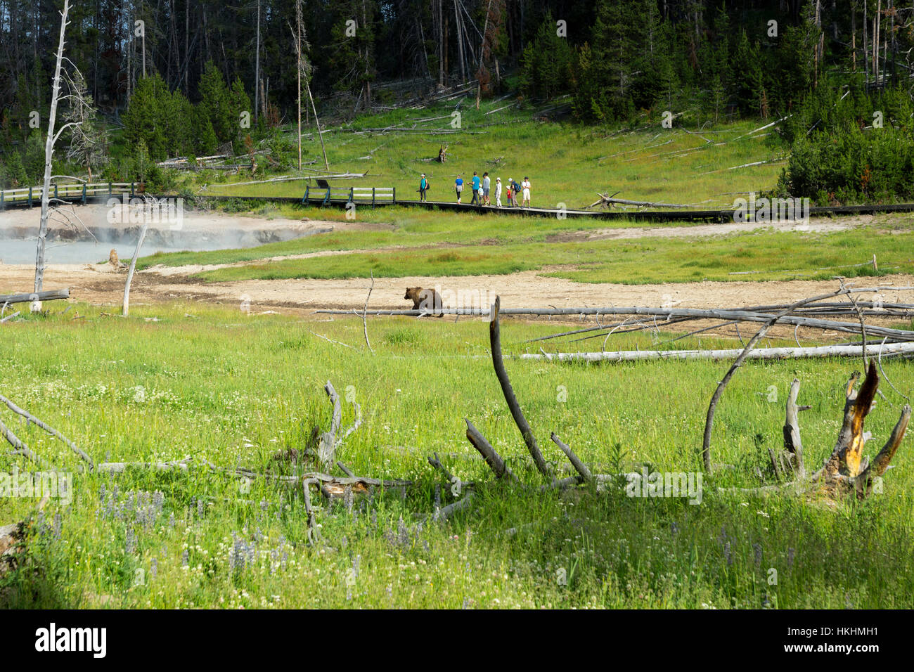 Bear in Mud Volcano Area, Yellowstone National Park, Wyoming, USA - Stock Image