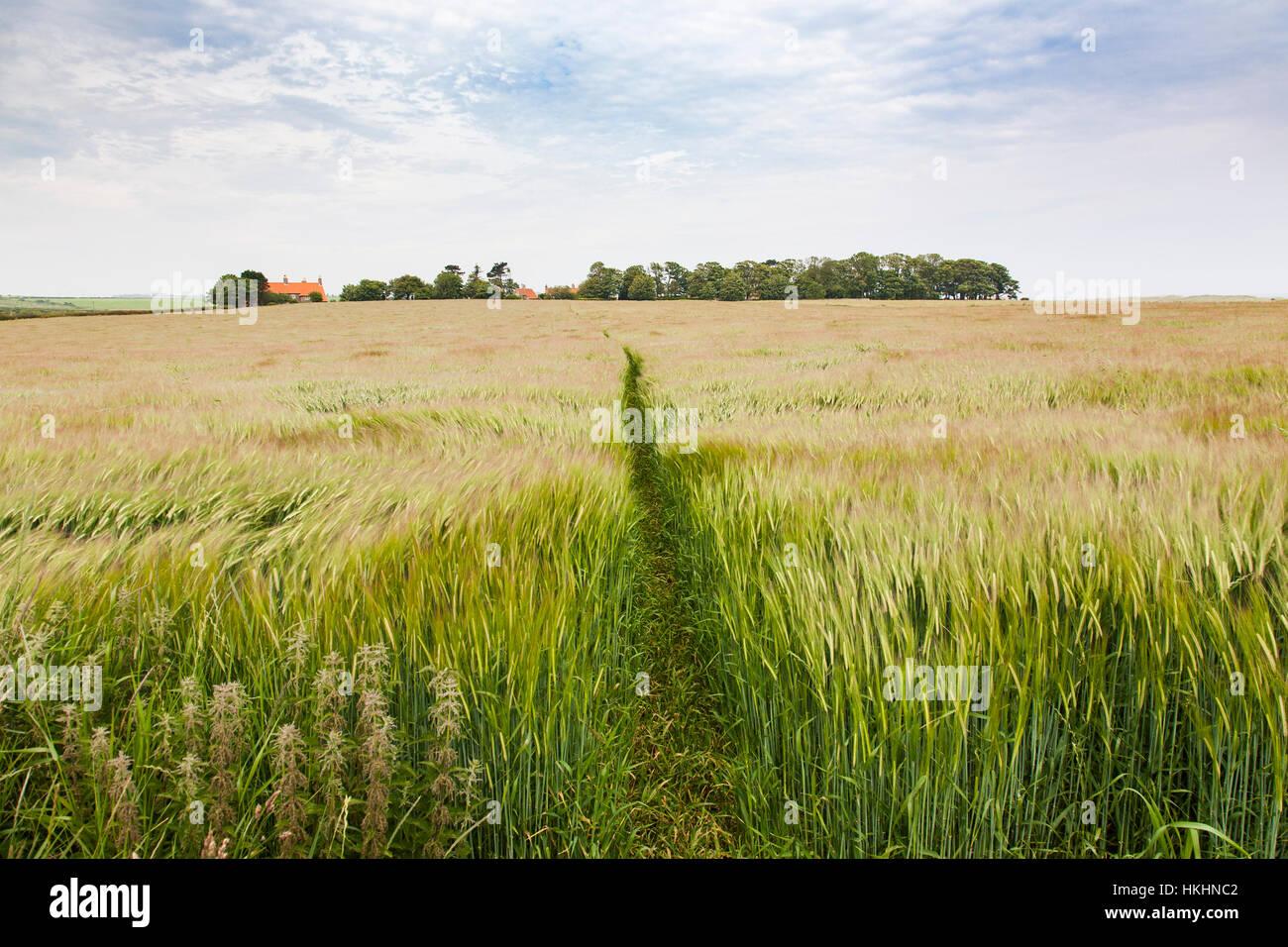 Field of barley - Stock Image
