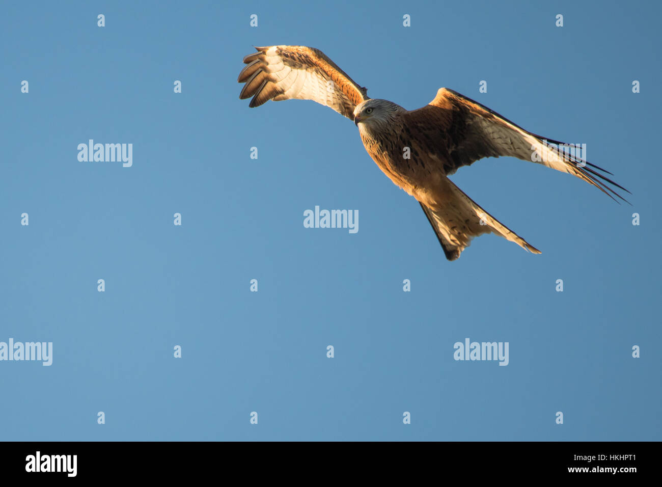 Red kite (Milvus milvus) in flight with wings angled. Medium-large bird of prey in family Accipitridae, flying in - Stock Image