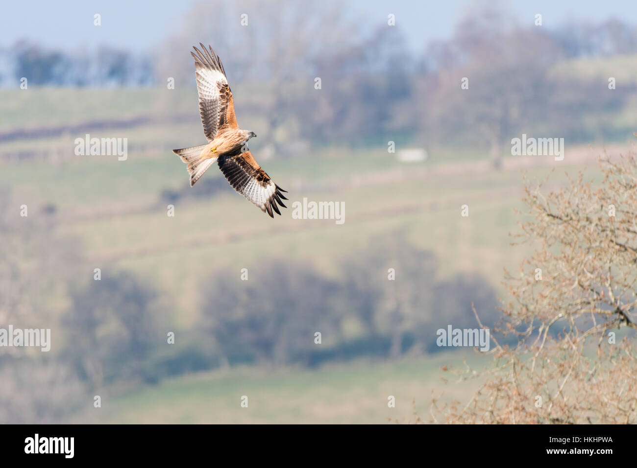 Red kite (Milvus milvus) banking in flight with underside. Medium-large bird of prey in family Accipitridae, in - Stock Image