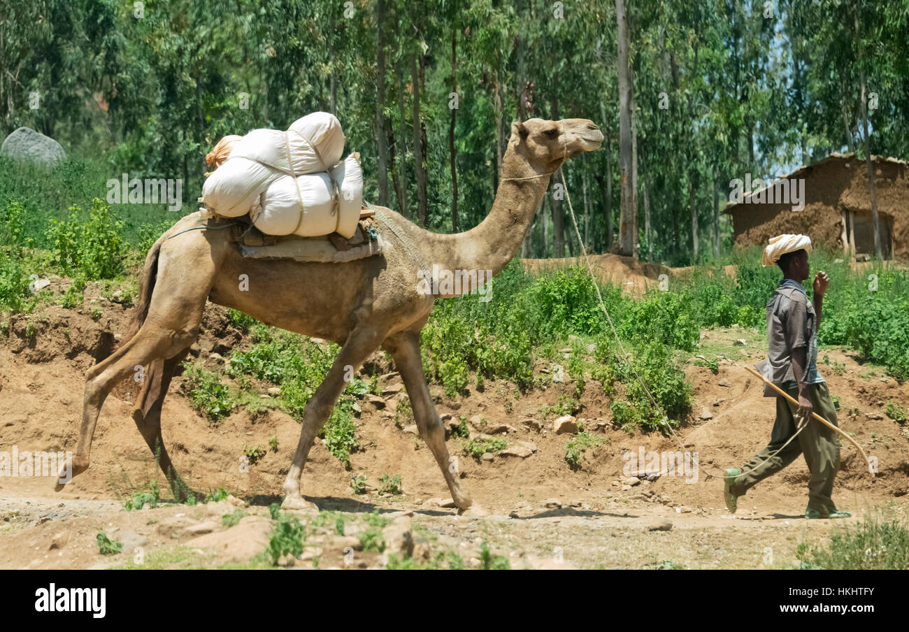 Farmer with camel, Aksum, Ethiopia - Stock Image