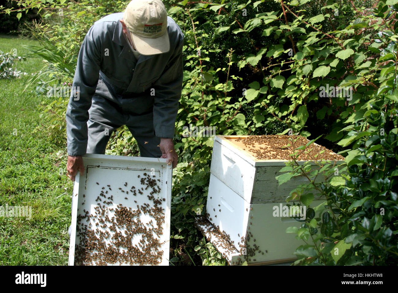 Bee keeper working at the bee hive - Stock Image