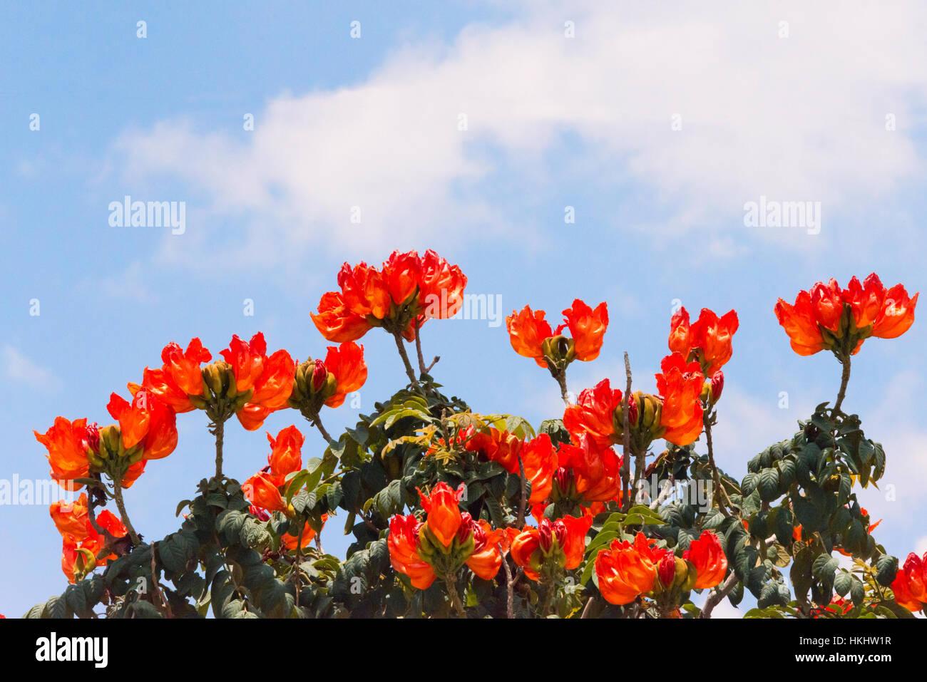 Flaming flower, Lalibela, Ethiopia Stock Photo