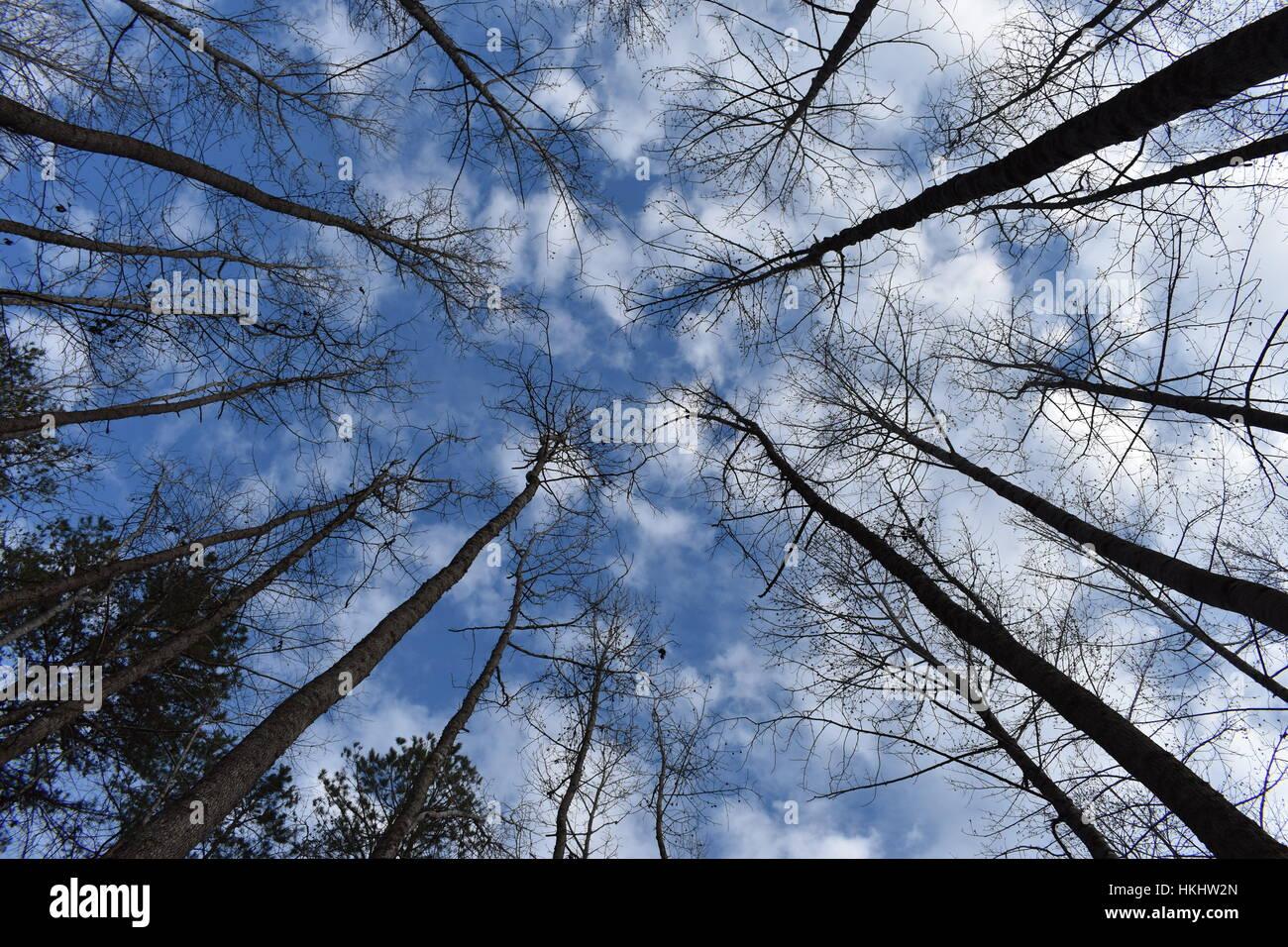 trees to sky - Stock Image