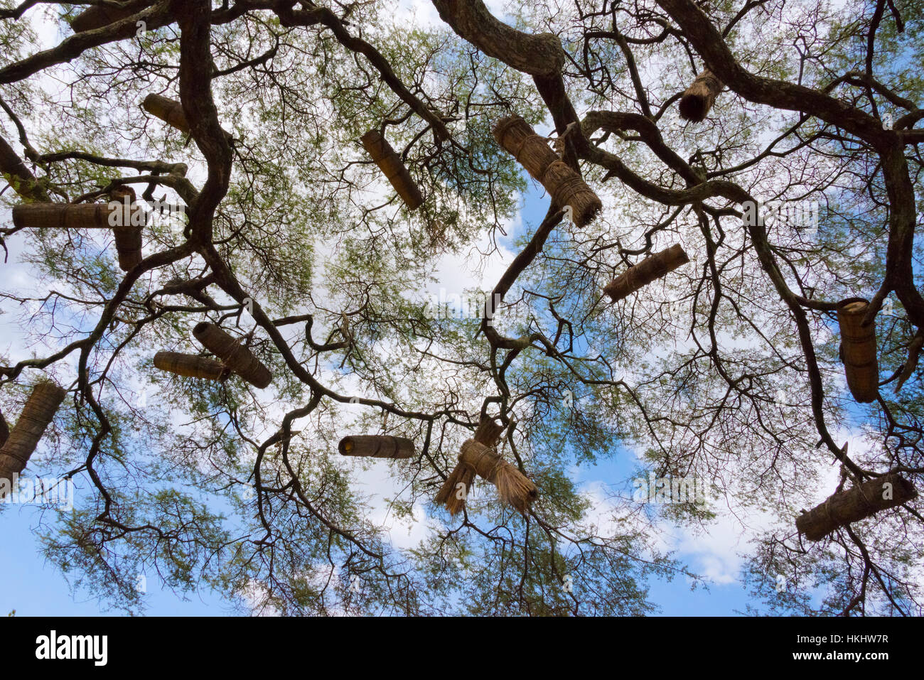Beehives on acacia tree, Arba Minch, Southern Nations, Nationalities, and Peoples' Region, Ethiopia - Stock Image