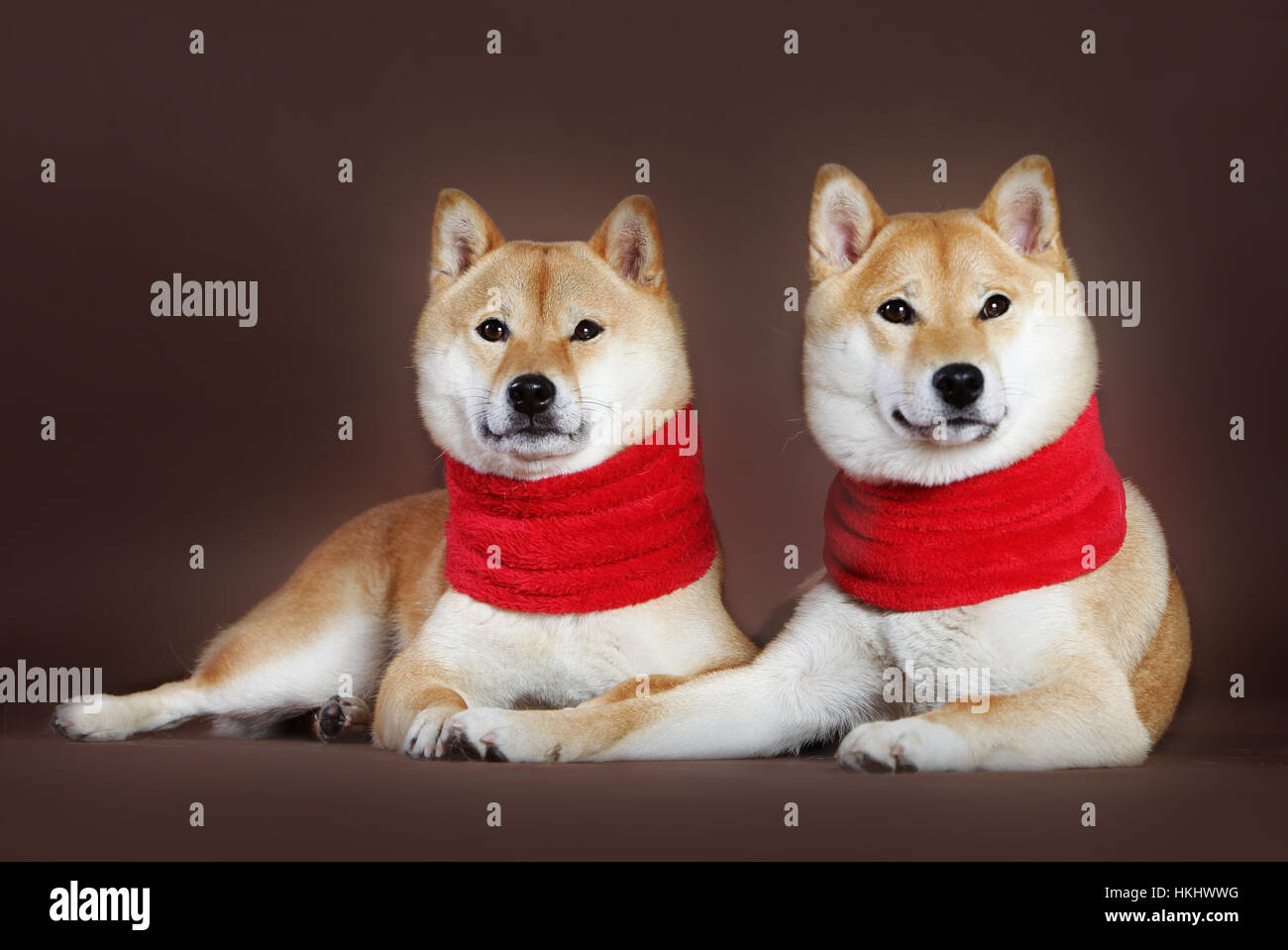 Shiba Inu dog couple of female with scarf in studio - Stock Image