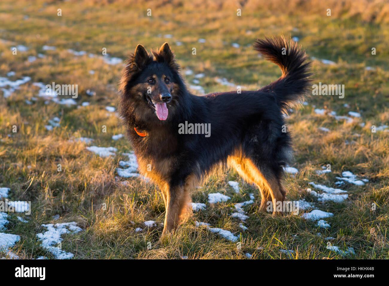 Chodsky pes Stock Photo: 132544731 - Alamy
