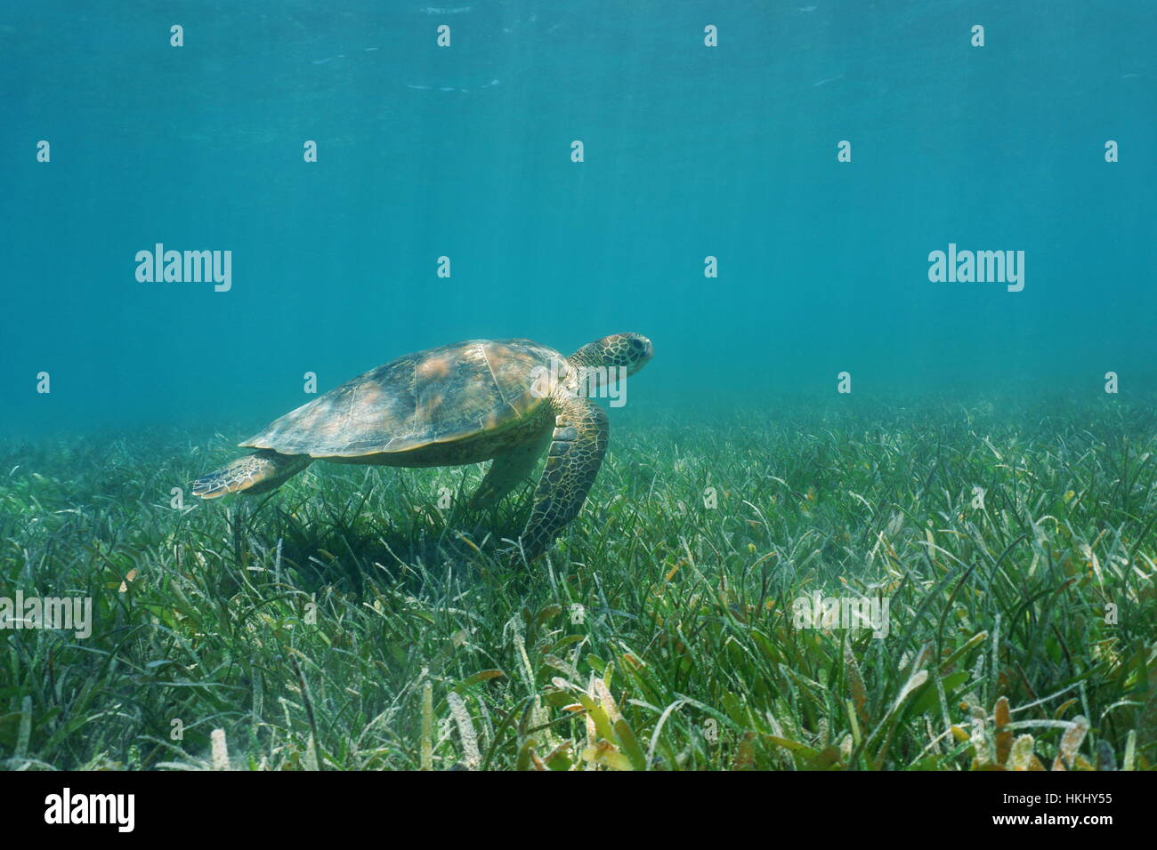 Underwater green sea turtle swims over grassy seabed, south Pacific ocean, lagoon of Grand Terre island in New Caledonia - Stock Image