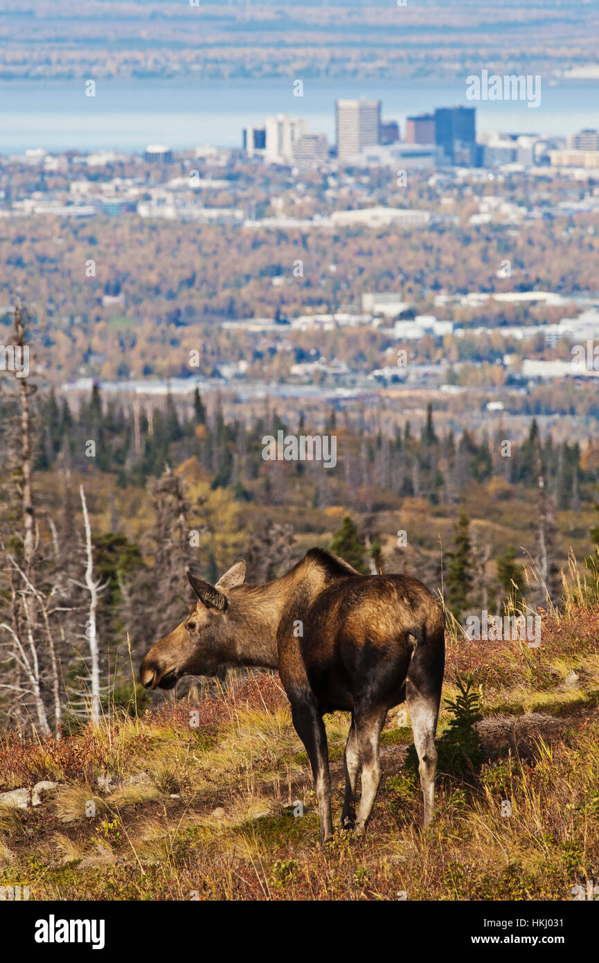 A cow moose (alces alces) pauses in the Chugach Mountains above Anchorage in autumn, with the Anchorage downtown - Stock Image