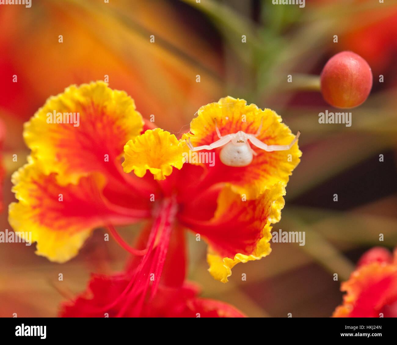 Spider on a Dwarf Poinciana flower. - Stock Image