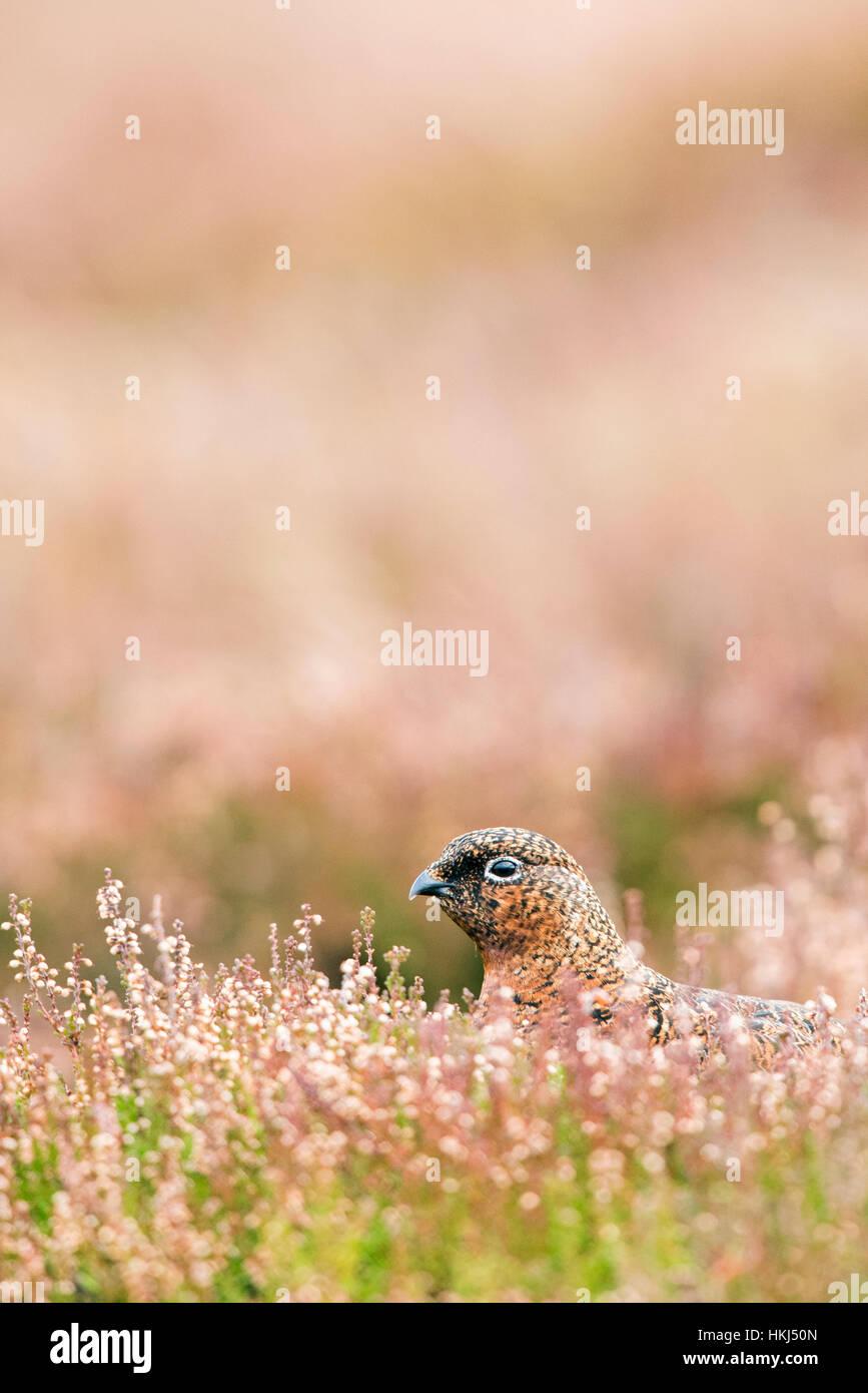 Red Grouse (Lagopus lagopus scotica) in natural habitat, heathland, Cairngorms National Park, Scottish Highlands, - Stock Image