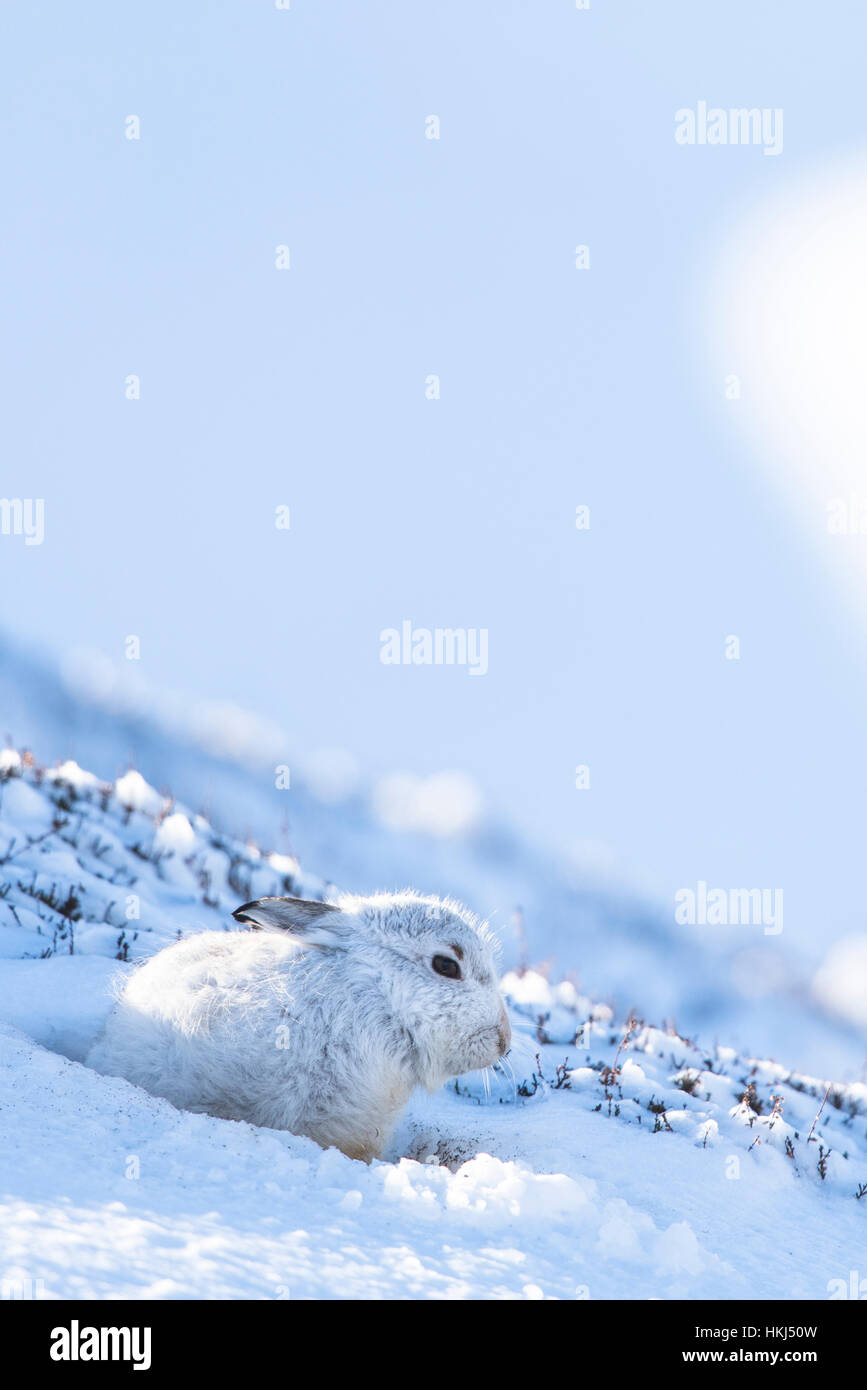 Mountain hare (Lepus timidus) sitting in snow, winter coat, Cairngroms National Park, Scottish Highlands, Scotland - Stock Image