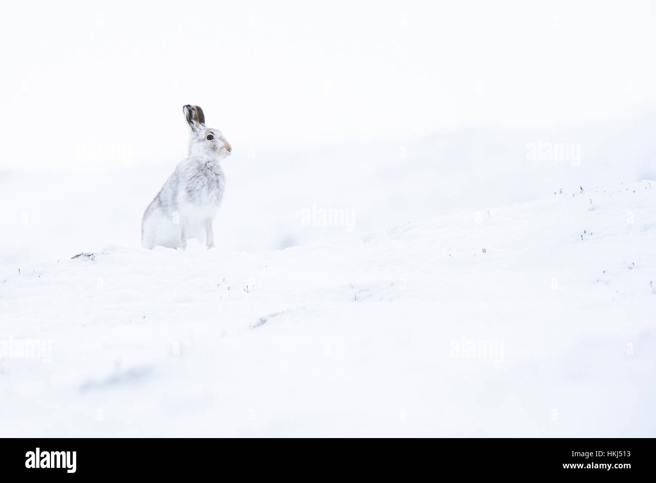 Mountain hare (Lepus timidus) in the snow, winter coat, Cairngroms National Park, Scottish Highlands, Scotland, - Stock Image