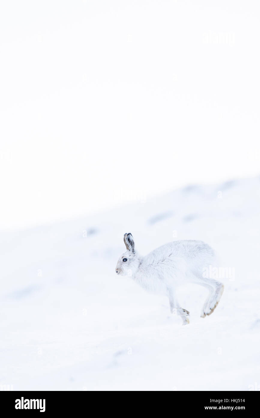 Mountain hare (Lepus timidus) running in snow, winter coat, Cairngroms National Park, Scottish Highlands, Scotland - Stock Image