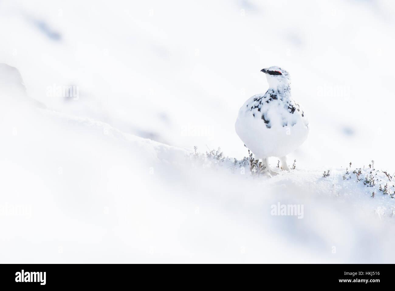 Rock ptarmigan (Lagopus muta) in the snow, Cairngorms National Park, Scottish Highlands, Scotland, United Kingdom - Stock Image