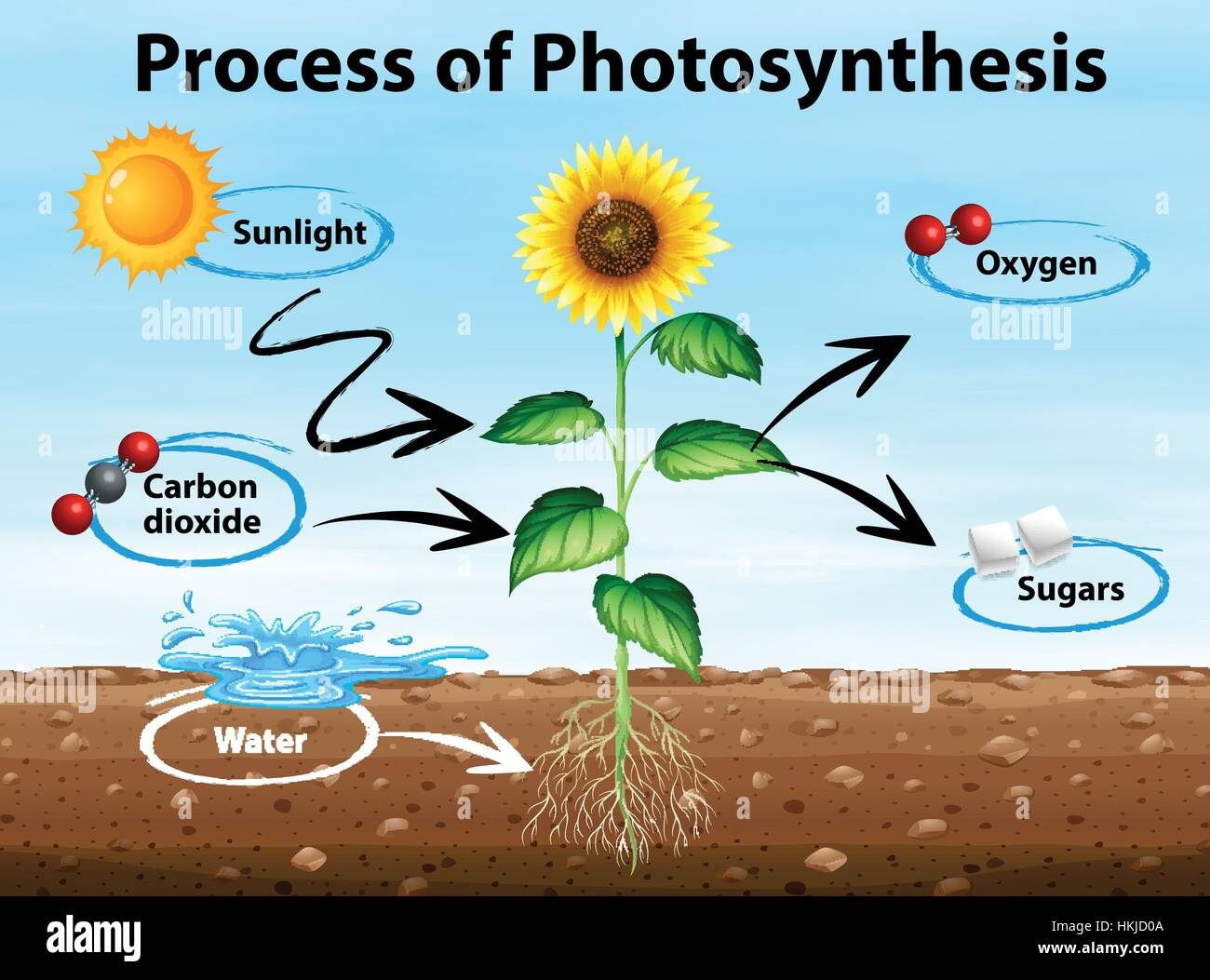 Diagram showing process of photosynthesis illustration stock vector diagram showing process of photosynthesis illustration ccuart Images