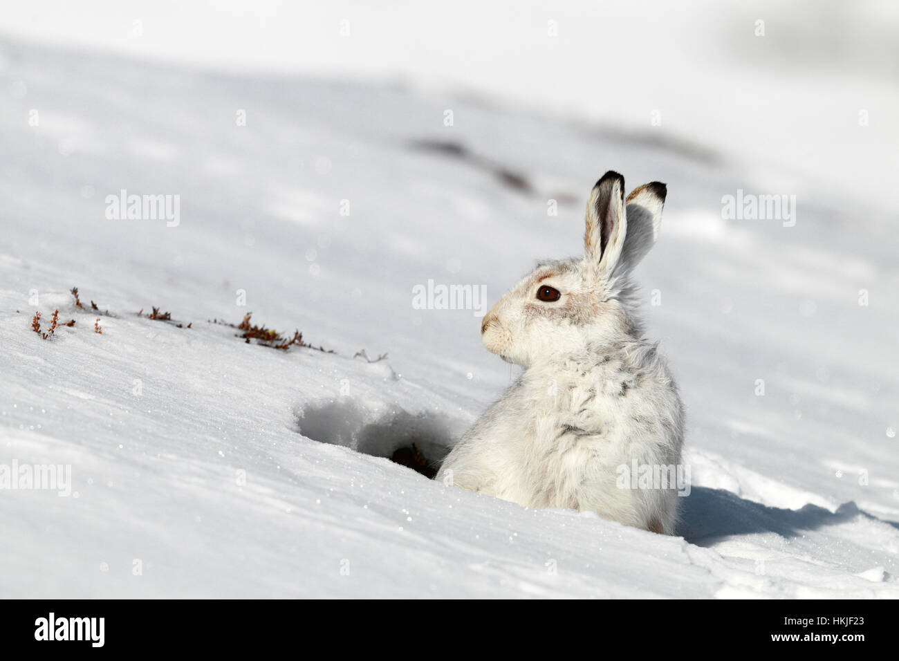 Mountain hare in snow - Stock Image