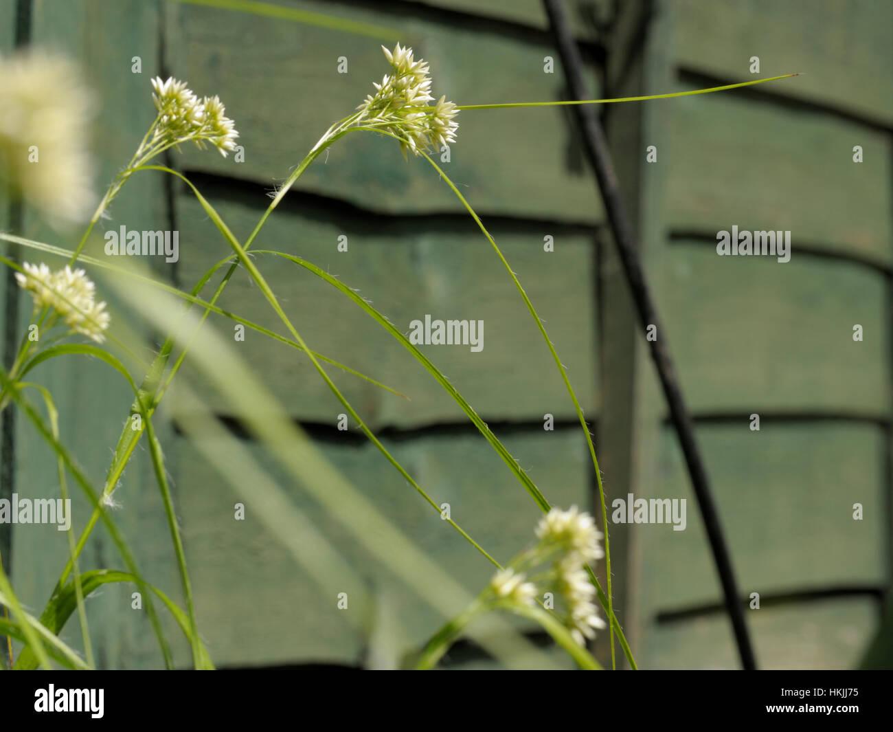 Snow-white Wood-rush, Luzula nivea - Stock Image