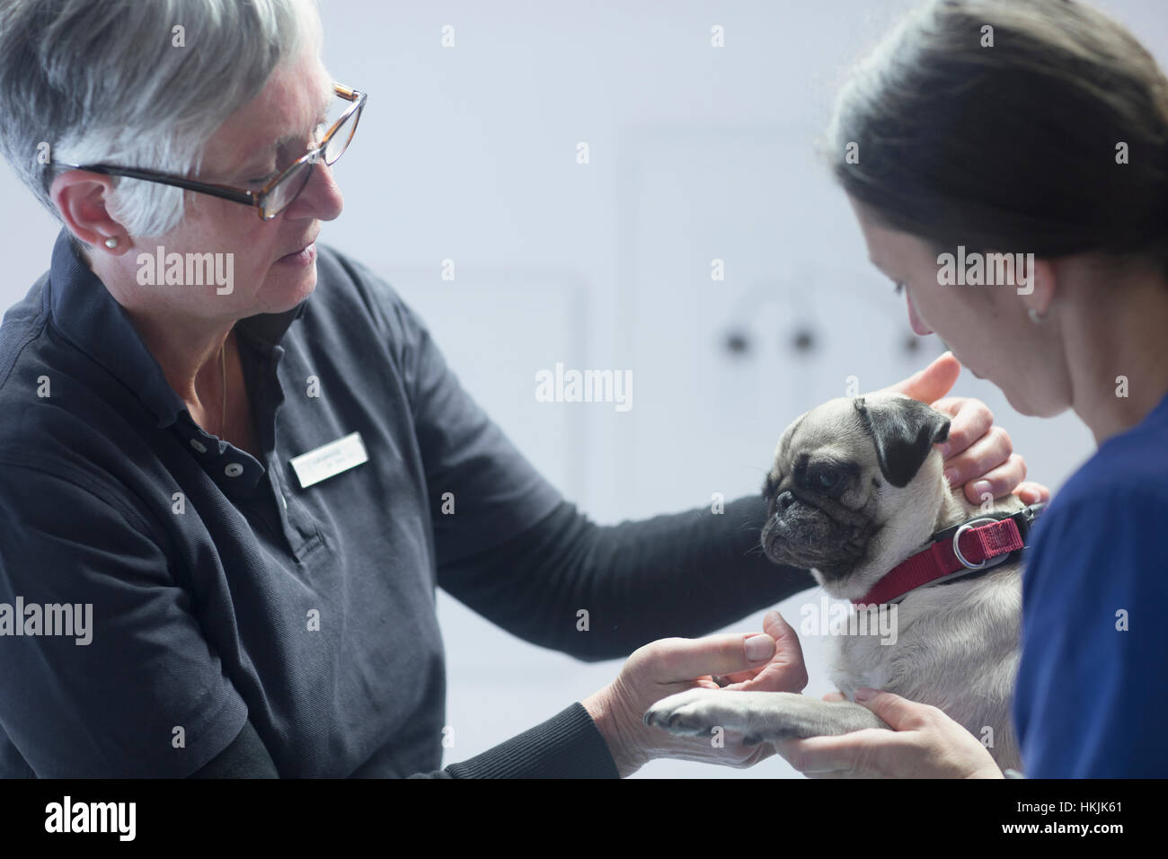 Veterinarians doing a check-up on a dog,Breisach,Baden-Württemberg,Germany - Stock Image