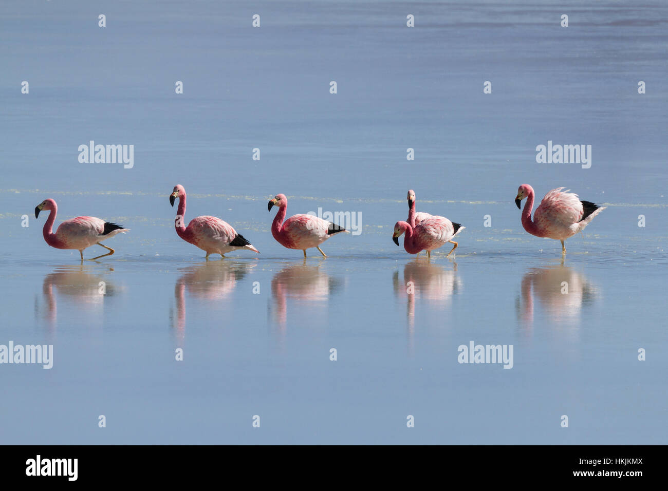 Flamingos at Laguna Ramaditas, Altiplano, Bolivia - Stock Image