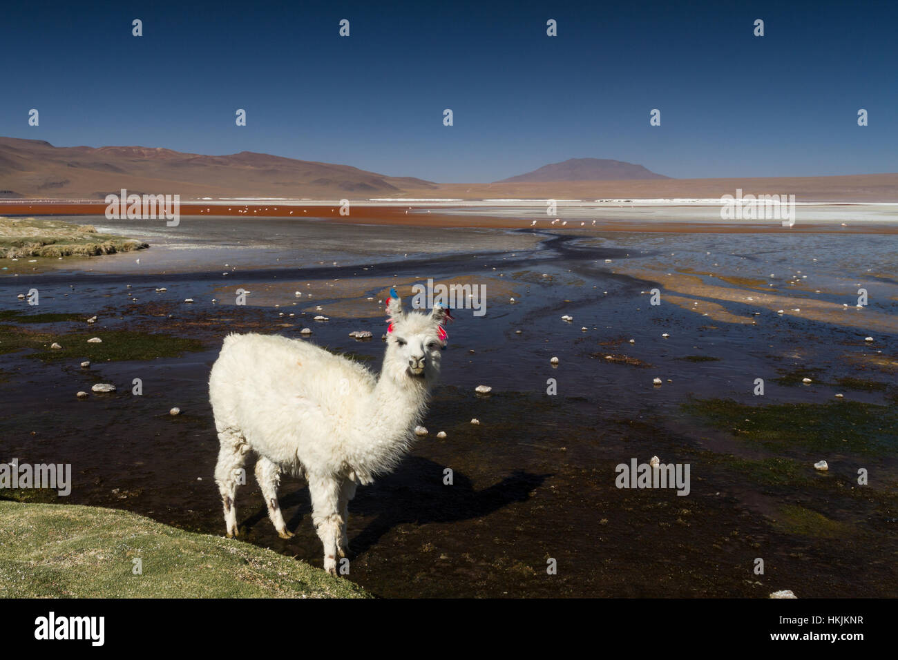 White Alpaca at Laguna Colorada, Altiplano, Bolivia - Stock Image