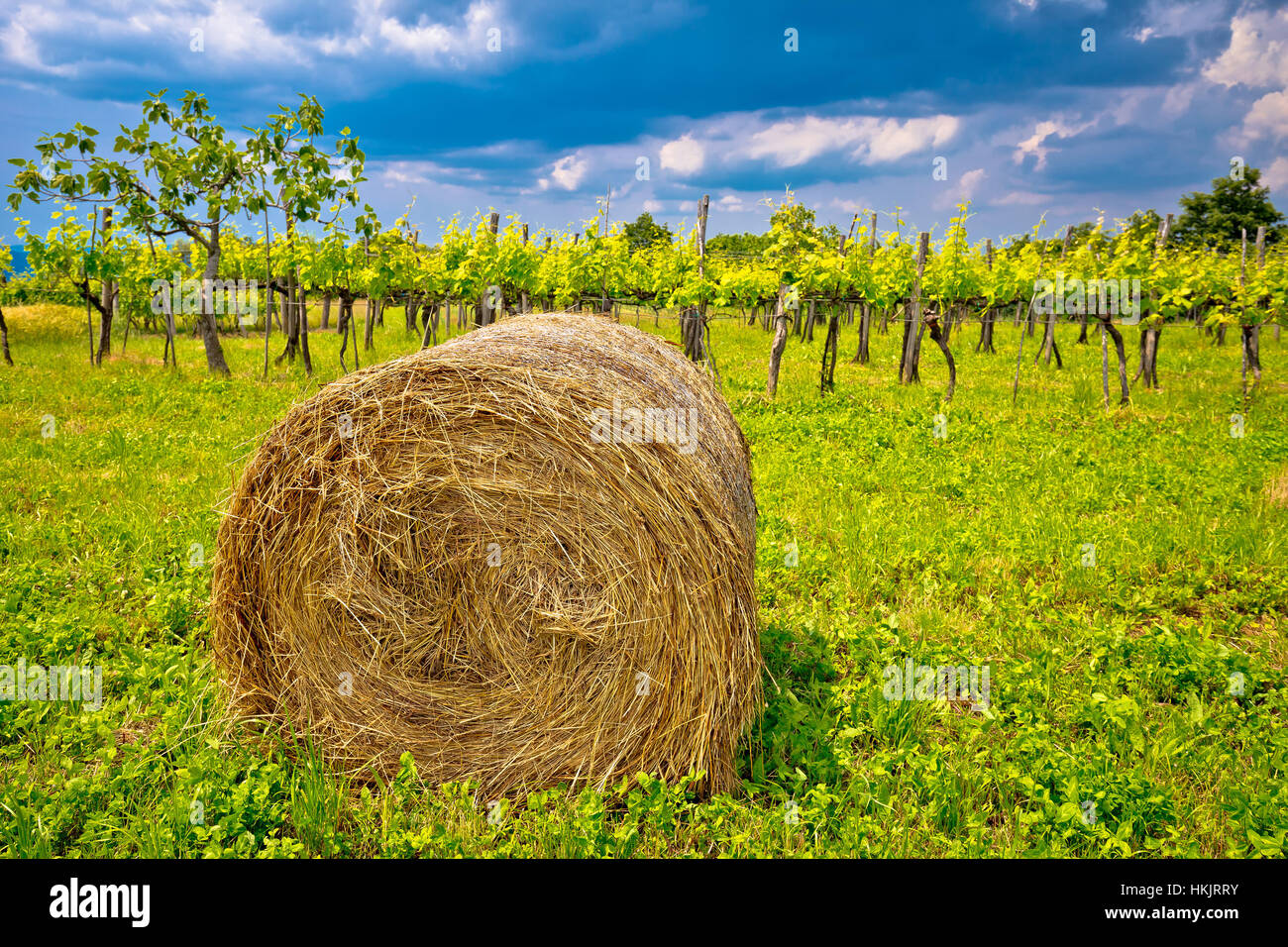Vineyard and hay bale in inland Istria, green landscape of Croatia - Stock Image