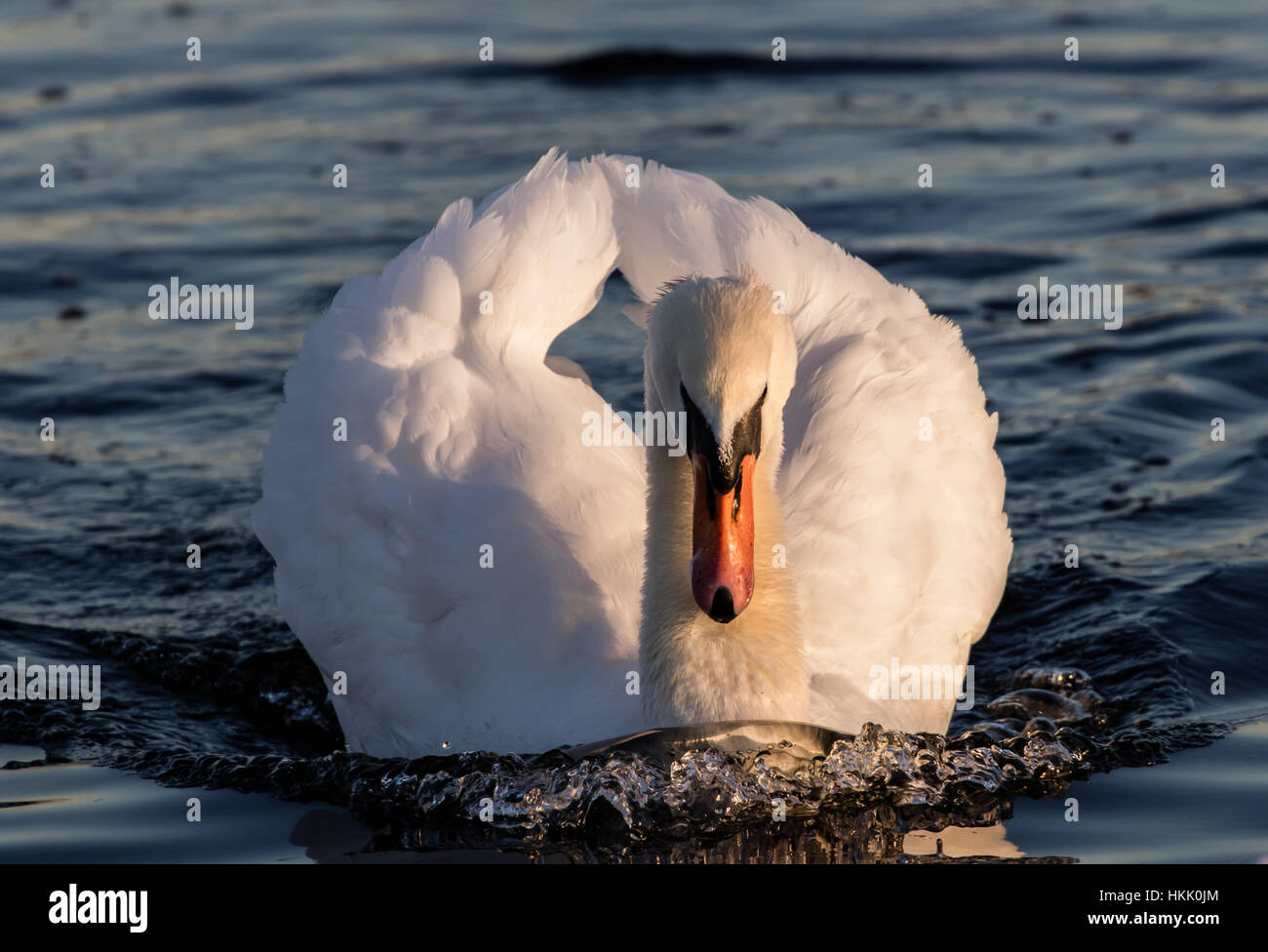 White swan swimming in Hyde Park at sunset - Stock Image