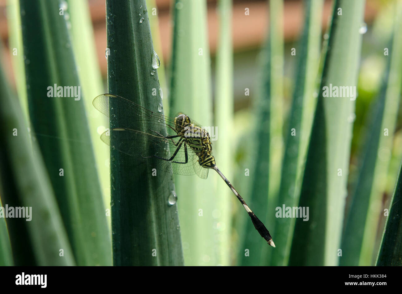 Dragonflies and Morning Dew - Stock Image