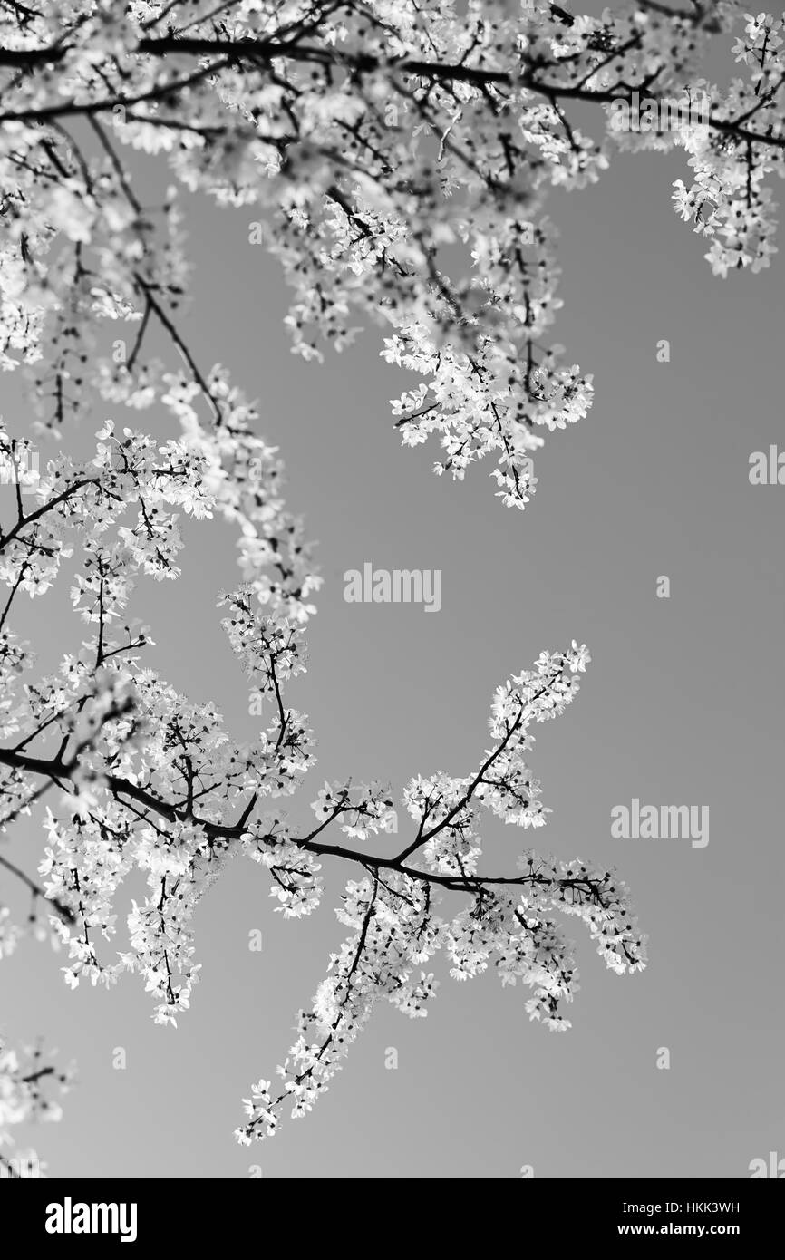 branches with white flowers on the blue background, note shallow dept of field - Stock Image