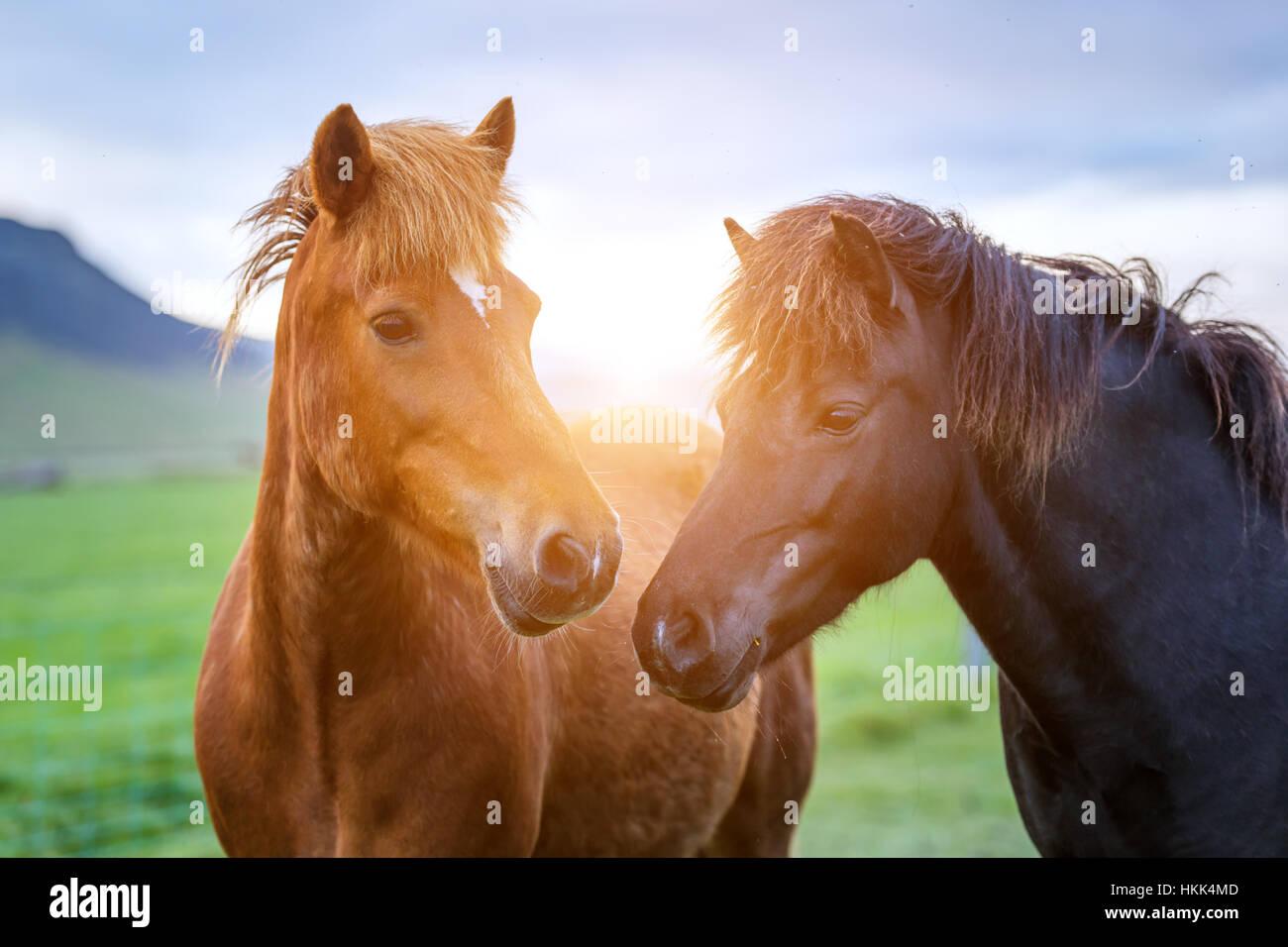 Icelandic horse portrait close up - Stock Image